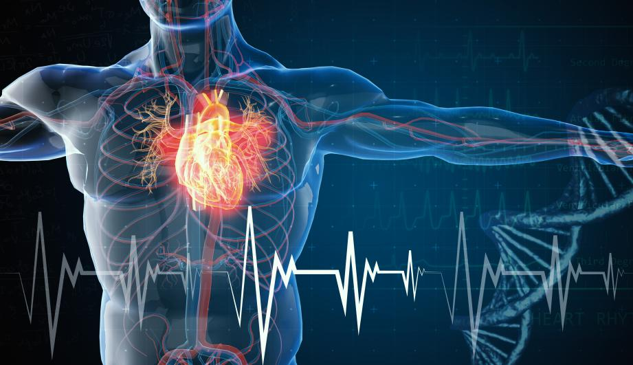 cardiovascular illustration